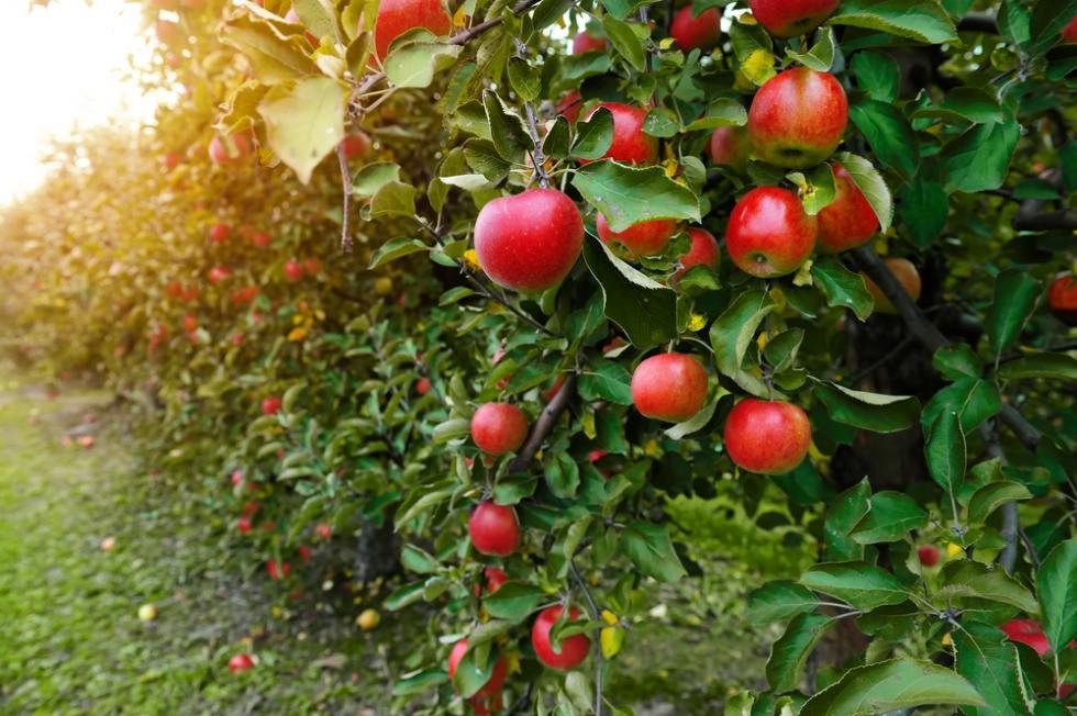 Drzewa owocowe iich choroby grzybowe