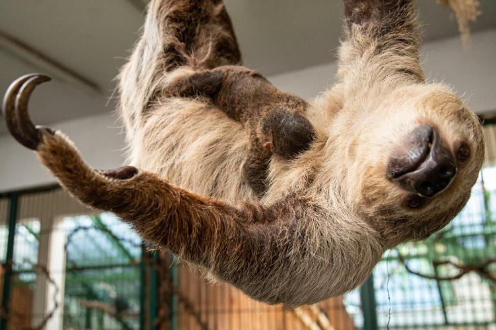 #Babyboom wewrocławskim zoo – pierwszy leniwiec urodzony weWrocławiu